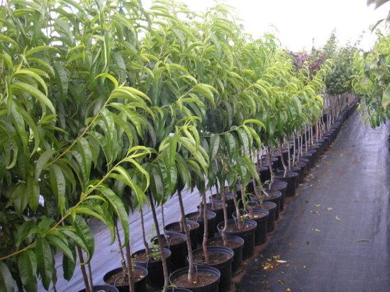 Ovocné stromky kontejnerované - ZAHRADNÍ CENTRUM - Hruška Jiří Kolín