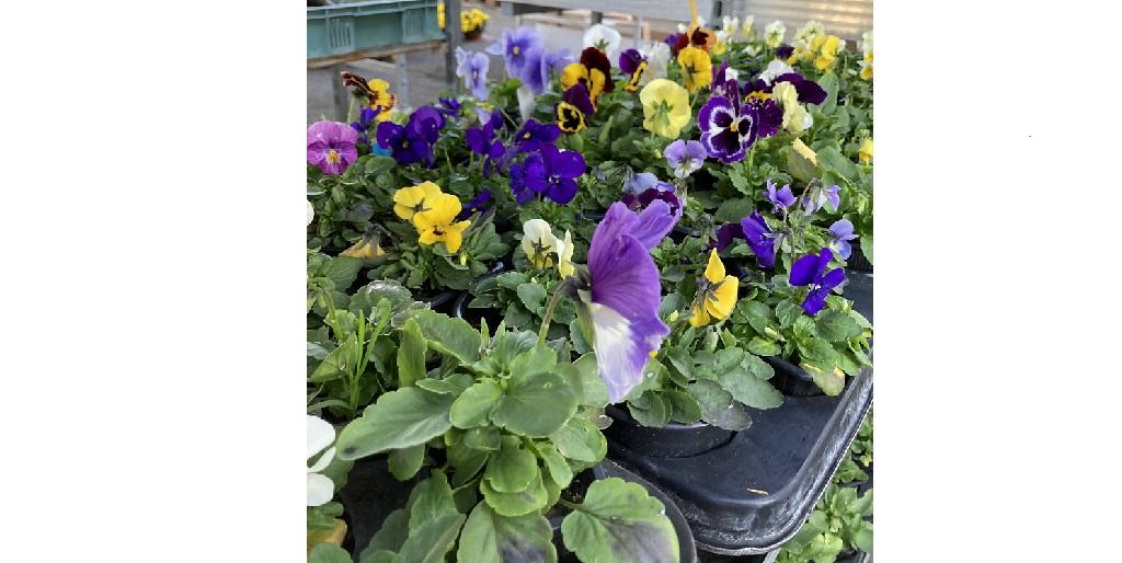 Balkonové rostliny a kytky, květiny do truhlíků Opava - muškát, maceška, surfinie, begonie a další