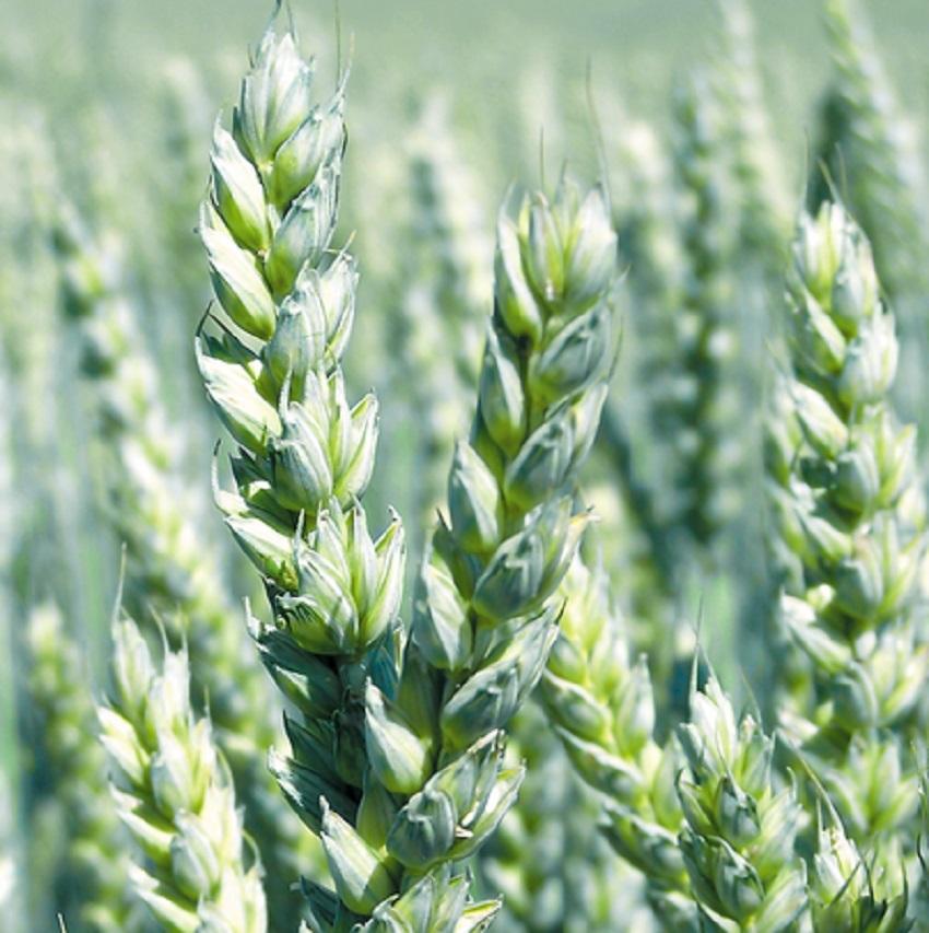 Šlechtění a množení vyšších stupňů obilovin a technických plodin v našich podmínkách Praha