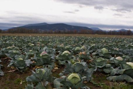 Nejlepší krouhané a kysané zelí, napomáhající snižovat krevní tlak - výroba i prodej