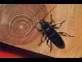 Likvidace dřevomorky trámovky plísní červotoče tesaříka Náchod