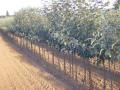 Ovocné stromy jabloně hrušně třešně višně švestky meruňky Kolín