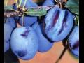 Zahradnictví - ovocné stromky - třešně