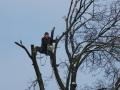 Arboristika - kácení stromů v celku, rizikové postupné kácení za použití arboristického vybavení