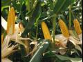 Kukuřice 2018 – informace, porovnání a výhody jednotlivých hybridů