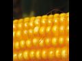 Kukuřice 2018 výhody jednotlivých hybridů