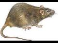 Hubení hmyzu hlodavců krys potkanů myší deratizace dezinsekce.