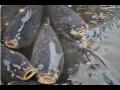Celoroční, ale i vánoční prodej chutných ryb, především kaprů, štik, sumců a candátů