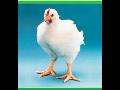 Drůbežárna XAVEROV, a.s., jednodenní kuřata, násadová vejce, chov slepic