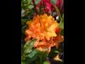 Prodej novinky v sortimentu azalky, rhododendrony a vřesovištní rostliny