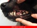 Veterinární stomatologie, odstranění zubního kamene Otrokovice