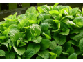 Šlechtění a semenářství plodin. Prodej léčivých bylin, léčivky