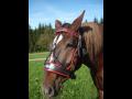 Kožené popruhy a vozové ohlavy pro tažné i jezdecké koně