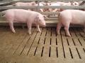 Betonové stájové rošty pro prasata, skot, výroba dle norem EU