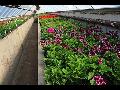 Okrasné rostliny, dřeviny, stromy, keře, květiny, substráty, prodej