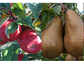 Farma AGRO-ZOO Ing. Josef Vendolský, pěstování ekologického ovoce