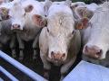 Ekologické zemědělství, chov hovězího dobytka, prodej masa