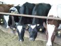 Zemědělské družstvo, pěstování obilovin, chov skotu