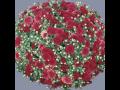Sazenice chryzantém za skvělou cenu - široký výběr barev a druhů