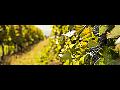 Vinařství z jižní Moravy, zpracování, výroba, prodej vína, e-shop