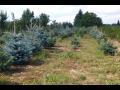 Prodej, rozvoz vánočních stromků - borovice, jedle, smrk, živé vánoční stromečky i v květináči