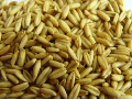 CZECH REPUBLIC; We sell Naked Oat