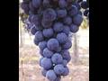 Odrůdová vína, vinařství Mutěnice