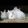 Péče a výživa zakrslých králíků, veterina Česká Lípa, jídelníček, pitný ...