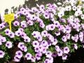 Pestrobarevné letničky, balkónovky, dvouletky a voňavé bylinky – prodej ...