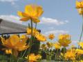 Prodej okrasných dřevin a trvalek,  nádherně kvetoucích rododendronů a ...