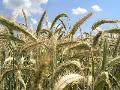 Žito ozimné s příměsí námele Ústí nad Orlicí Lanškroun Svitavy
