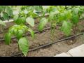 Kapková závlaha Litomyšl, sestava kapkovacích hadic a příslušenství pro skleníky