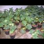Zemina, hnojivo, zeleninové sazenice - sadba zeleniny, okurek, rajčat, papriky ze zahradnictví