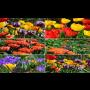 Široký výběr jarních cibulovin – mečíky, kosatce, jiřiny, krokusy, dosen, tulipány