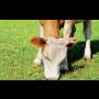 Výživa, konzervační přípravky, krmiva a doplňky pro skot Pohořelice, stabilizátory, krmné soli