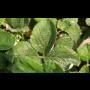 Choroby a škůdci jahodníku, zahradnictví Velim, rady pro zahrádkáře, prodej chemických postřiků