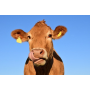 Ekofarma Pospíšilových v Holubí Zhoři, pěstování krmných plodin, chov prasat, krav, koz, slepic