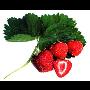 Nejlepší jahody v Praze – jahody z Kunratic – prodej i samosběr