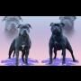 Chovná stanice Staffordshire Bull Terrierů Říčany u Brna, nekonfliktní plemeno, psy pro výstavy