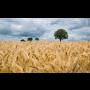 Rostlinná výroba Rakovník, pěstování obilovin, řepky, chmelu, ekologické pěstování bez hnojiv