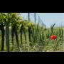 Rodinné vinařství Bukovský Břeclav, degustace vín, výroba vína bez chemie, růžová a červená vína