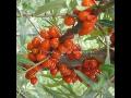 Prodej, pěstování sazenic Rakytník řešetlákový, bylina jiaogulan ženšen, žen-šen
