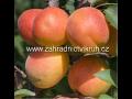 Ovocné stromky, meruňky, zahradnictví | Subtropické zahradnictví Kruh