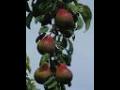 Prodej ovocné stromy, keře Třinec