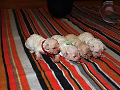 Breeding kennels, sale of Bichons, Bichon puppies to purchase, the Czech Republic