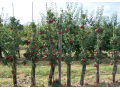 Praha prodej ovocn� d�eviny