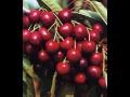 Ovocné stromky - třešně