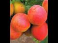 Ovocné stromky - broskve