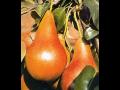 Ovocné stromky - hrušky