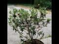 Velkoobchod jehličnaté stromky, rododendrony Litomyšl, Svitavy, Skuteč